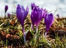 Flores roxas do açafrão na montanha da mola Imagens de Stock