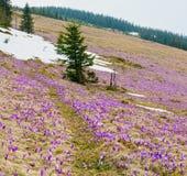 Flores roxas do açafrão na montanha da mola Fotografia de Stock Royalty Free