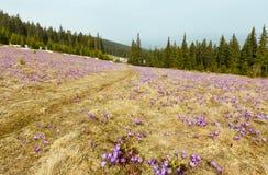 Flores roxas do açafrão na montanha da mola Fotos de Stock Royalty Free