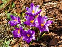 Flores roxas do açafrão na montanha da mola Imagem de Stock Royalty Free