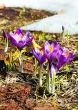 Flores roxas do açafrão na montanha da mola Imagens de Stock Royalty Free