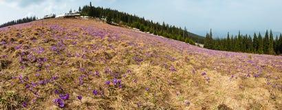 Flores roxas do açafrão na montanha da mola Imagem de Stock