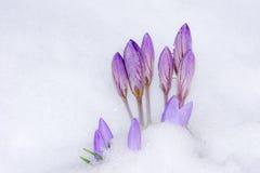 Flores roxas do açafrão na neve Fotografia de Stock