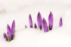 Flores roxas do açafrão na neve Imagem de Stock
