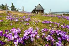 Flores roxas do açafrão no monte da montanha da mola Fotos de Stock Royalty Free
