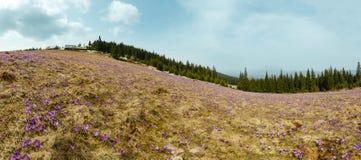 Flores roxas do açafrão no monte da montanha da mola Imagens de Stock Royalty Free