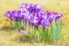 Flores roxas do açafrão no prado Imagem de Stock Royalty Free