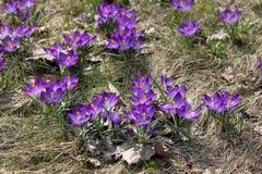 Flores roxas do açafrão que florescem na primavera Foto de Stock Royalty Free