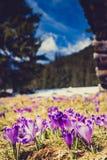 Flores roxas do açafrão que florescem nas montanhas Foto de Stock