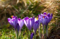 Flores roxas do açafrão que florescem no prado da mola Foto de Stock