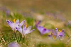 Flores roxas do açafrão que florescem no prado da mola Imagens de Stock