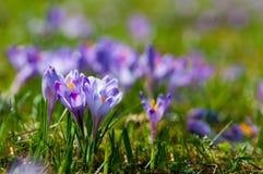 Flores roxas do açafrão que florescem no prado da mola Foto de Stock Royalty Free