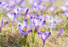 Flores roxas do açafrão que florescem no prado da mola Imagem de Stock