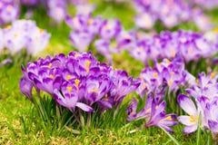 Flores roxas do açafrão que florescem no prado da mola Fotos de Stock Royalty Free