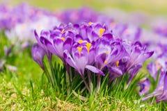 Flores roxas do açafrão que florescem no prado da mola Imagem de Stock Royalty Free