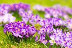 Flores roxas do açafrão que florescem no prado da mola Fotografia de Stock