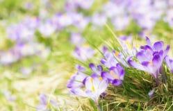 Flores roxas do açafrão que florescem no prado da mola Imagens de Stock Royalty Free