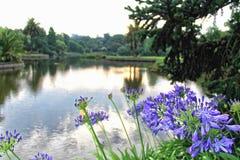 Flores roxas do Agapanthus Imagens de Stock Royalty Free