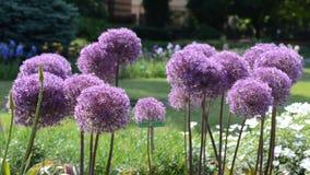 Flores roxas do Allium do alho vídeos de arquivo