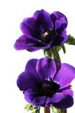 Flores roxas do anemone fotografia de stock royalty free