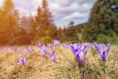 Flores roxas do autumnale do Colchicum dos açafrões em um prado da montanha na luz do sol Fotos de Stock