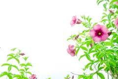 Flores roxas do Bignonia, crescimento de flores da planta e florescência sobre Fotos de Stock Royalty Free