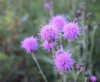Flores roxas do cardo em Estes Park, Colorado Foto de Stock Royalty Free