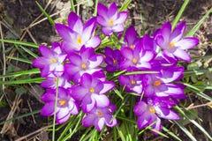 Flores roxas do close up do vernus do açafrão Fotos de Stock Royalty Free