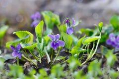 Flores roxas do close up (nome científico: Odorata da viola, doce Vi Foto de Stock