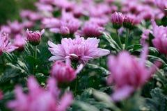 Flores roxas do crisântemo Fotografia de Stock Royalty Free
