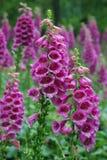 Flores roxas do Foxglove Foto de Stock Royalty Free