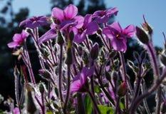 Flores roxas do gerânio  Fotografia de Stock