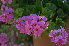 Flores roxas do gerânio Imagem de Stock