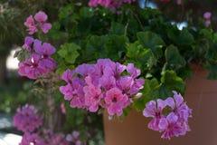 Flores roxas do gerânio Fotos de Stock