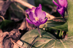Flores roxas do heuffelianus do açafrão, foto do vintage Tempo de mola, plantas da prímula Foto de Stock