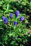 Flores roxas do hyacinth Foto de Stock Royalty Free