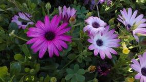 Flores roxas do jardim no quintal imagem de stock royalty free