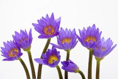Flores roxas do lírio de água Fotografia de Stock Royalty Free