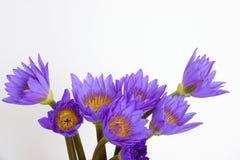 Flores roxas do lírio de água Fotos de Stock