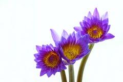 Flores roxas do lírio de água Foto de Stock Royalty Free