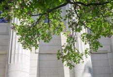 Flores roxas do Millettia que crescem com fundo da construção histórica Fotos de Stock Royalty Free