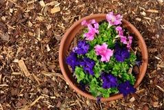 Flores roxas do nicotiana e palha de canteiro vermelha Fotos de Stock