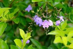 Flores roxas do ouro e de velas verdes Dewdrop dourado Fotografia de Stock
