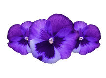 Flores roxas do pansy Fotografia de Stock Royalty Free