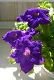 Flores roxas do petúnia, crescendo no vaso de flores no jardim pequeno no balcão imagens de stock