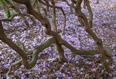Flores roxas do Rhododendron fotografia de stock royalty free