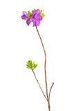 Flores roxas do rododendro no ramo Foto de Stock