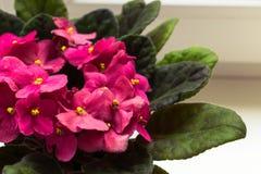 Flores roxas do Saintpaulia, flor cor-de-rosa pequena na janela fotos de stock royalty free