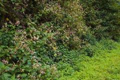 Flores roxas do wayside Imagem de Stock Royalty Free