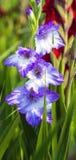 Flores roxas dos tipos de flor floresce os tipos de flor Imagens de Stock Royalty Free
